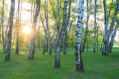 Bosque do vidoeiro, sol através das árvores imagem de stock royalty free
