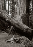 Bosque dos patriarcas Fotografia de Stock