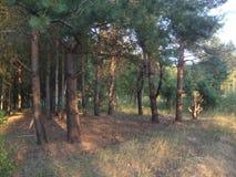 Bosque dos pinhos no por do sol imagens de stock royalty free
