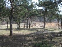 Bosque dos pinhos perto do penhasco Imagens de Stock