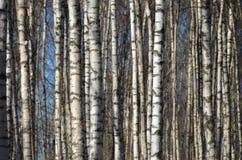 Bosque dos vidoeiros imagem de stock