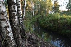 Bosque e rio durante o por do sol Vidoeiros no foco fotografia de stock royalty free