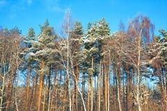 Bosque en árboles del invierno, del abedul y de pino Imágenes de archivo libres de regalías