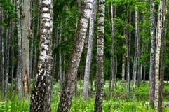 Bosque en el comienzo del verano Foto de archivo libre de regalías