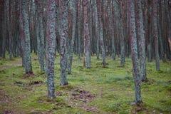 Bosque en el escupitajo de Curonian imagen de archivo