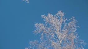 Bosque en invierno Mucha nieve En el primero plano son los tops de los árboles en la helada, árboles sin follaje metrajes