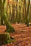 Bosque en la caída del otoño Imagen de archivo libre de regalías