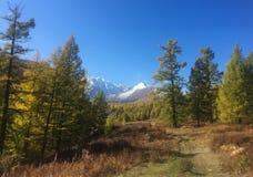 Bosque en la estepa de Kurai Otoño de oro en Altai, Rusia fotografía de archivo libre de regalías
