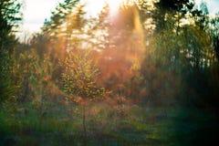 Bosque en la tarde de la puesta del sol Imágenes de archivo libres de regalías