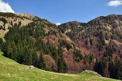 Bosque en las montañas de Ciucas Fotos de archivo libres de regalías