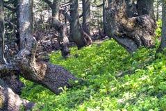 Bosque en las montañas de la reserva de la biosfera de Shouf, Líbano del cedro imagenes de archivo