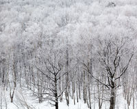 Bosque en nieve en día de invierno frío Imágenes de archivo libres de regalías