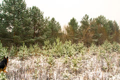 Bosque en nieve en un invierno Foto de archivo
