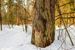 Bosque en nieve en un invierno Fotografía de archivo libre de regalías