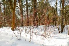 Bosque en nieve en un invierno Fotos de archivo