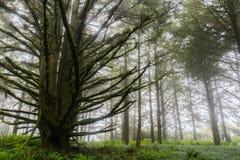 Bosque engullido por la niebla, San Francisco Bay, California fotos de archivo libres de regalías