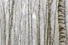 Bosque escarchado del abedul Imagenes de archivo