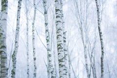 Bosque escarchado del abedul Foto de archivo libre de regalías
