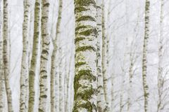 Bosque escarchado del abedul Imagen de archivo libre de regalías