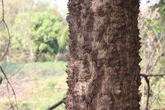 Bosque espinoso del tronco de árbol del árbol de ceiba del bombax o del árbol del algodón imagenes de archivo