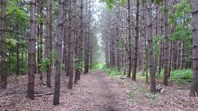 Bosque estéril del pino Imagen de archivo