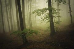 Bosque etéreo encantado con niebla verde Imagen de archivo libre de regalías