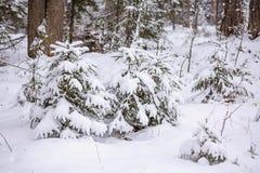 Bosque fabuloso del invierno Imagenes de archivo