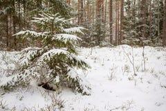 Bosque fabuloso del invierno Fotografía de archivo libre de regalías
