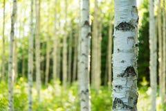 Bosque finlandés del abedul Fotos de archivo libres de regalías