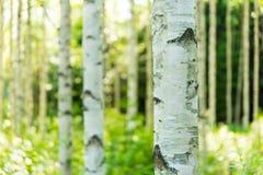 Bosque finlandés del abedul Fotografía de archivo