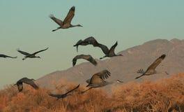 Bosque Flight. Cranes flight against a mountainous landscape in the Bosque of New Mexico Stock Image