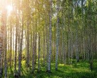 Bosque fresco da grama verde e do vidoeiro no ver?o Cena da mola nas madeiras de vidoeiro foto de stock royalty free