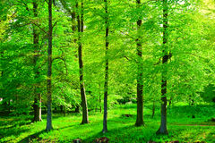 Bosque frondoso Imagens de Stock