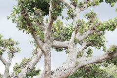 Bosque grande del árbol Foto de archivo
