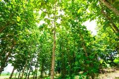 Bosque grande del árbol de la teca Imagen de archivo libre de regalías