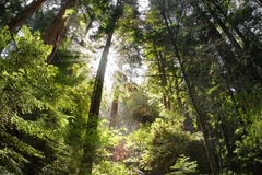 Bosque hermoso con los rayos del sol Imagen de archivo