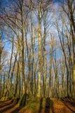 Bosque hermoso de la haya cerca de la ciudad Olot en España, La Fageda foto de archivo