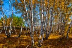 Bosque hermoso del abedul del otoño Fotografía de archivo libre de regalías