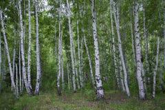 Bosque hermoso del abedul en verano Fotos de archivo libres de regalías