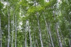 Bosque hermoso del abedul en verano Imágenes de archivo libres de regalías