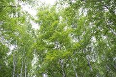 Bosque hermoso del abedul en verano Fotos de archivo