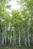 Bosque hermoso del abedul en verano Imagen de archivo