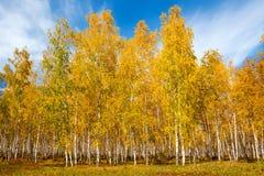 Bosque hermoso del abedul del otoño Imagen de archivo