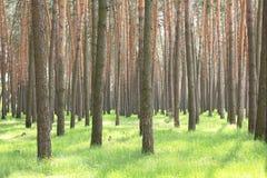 Bosque hermoso del pino con los árboles de pino grandes y el insummer de la hierba verde Imagen de archivo libre de regalías