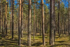 Bosque hermoso del pino de la primavera Imagen de archivo