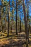 Bosque hermoso del pino de la primavera Imágenes de archivo libres de regalías
