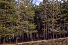 Bosque imperecedero que va cuesta abajo con poco pedazo de la tierra Fotos de archivo libres de regalías