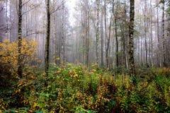 Bosque impermeable del abedul con muchas plantas y niebla fotografía de archivo libre de regalías