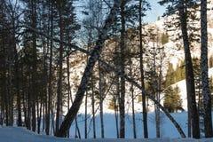 Bosque inclinado del abedul Fotografía de archivo