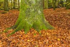 Bosque inglés de la haya en otoño Fotos de archivo libres de regalías